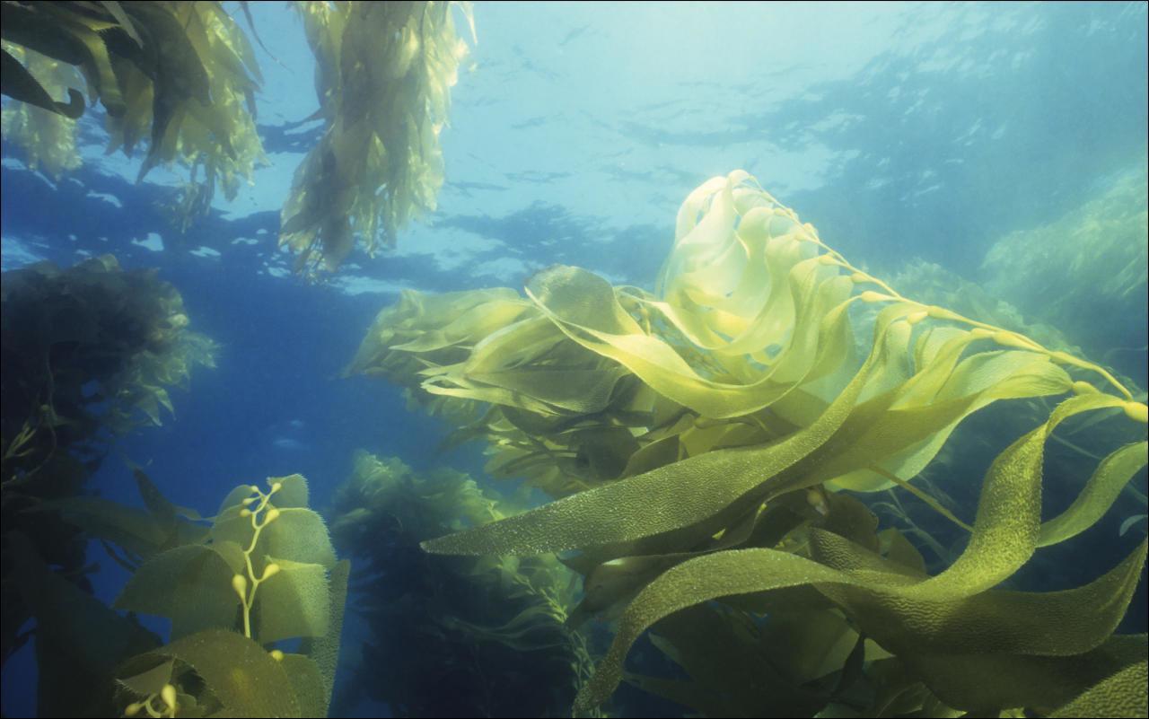 Algen Diätwunder aus dem Meer