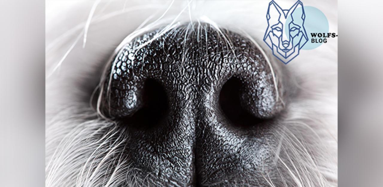 Hunde und Wölfe können  Wärme riechen