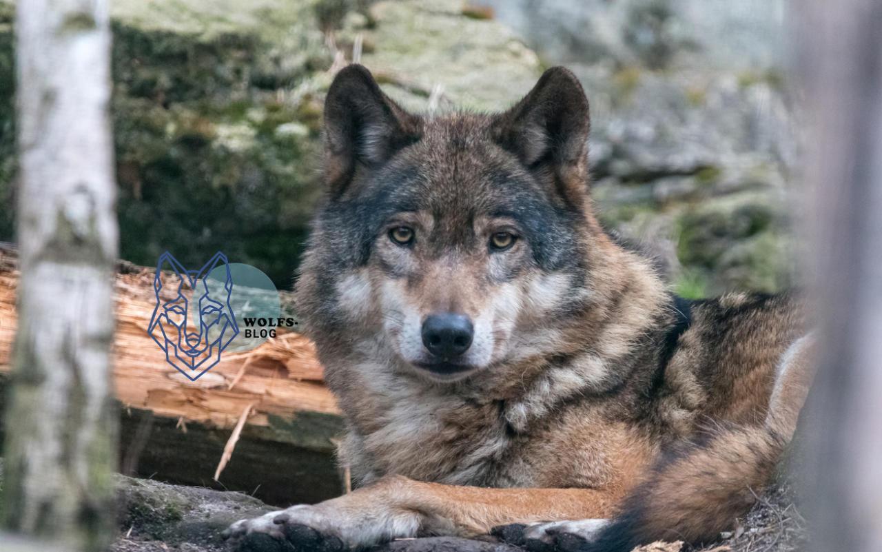 Wie gehen andere Länder mit dem Wolf um