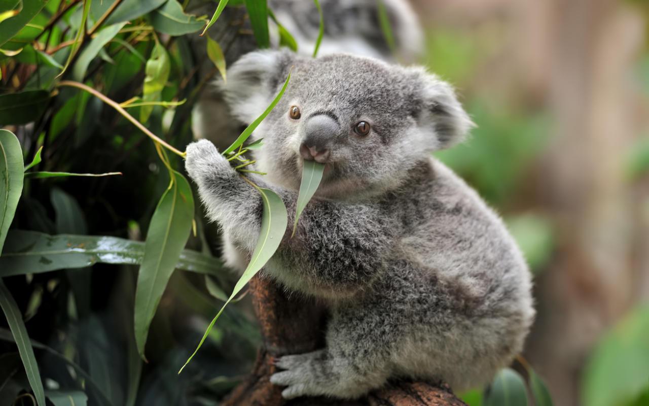 Koalabären stehen kurz vor dem Aussterben