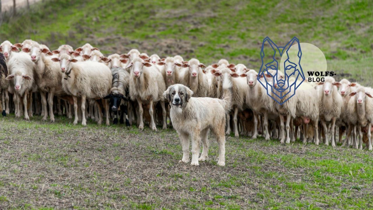 Flinte wird es nicht richten Brauchen Herdenschutz