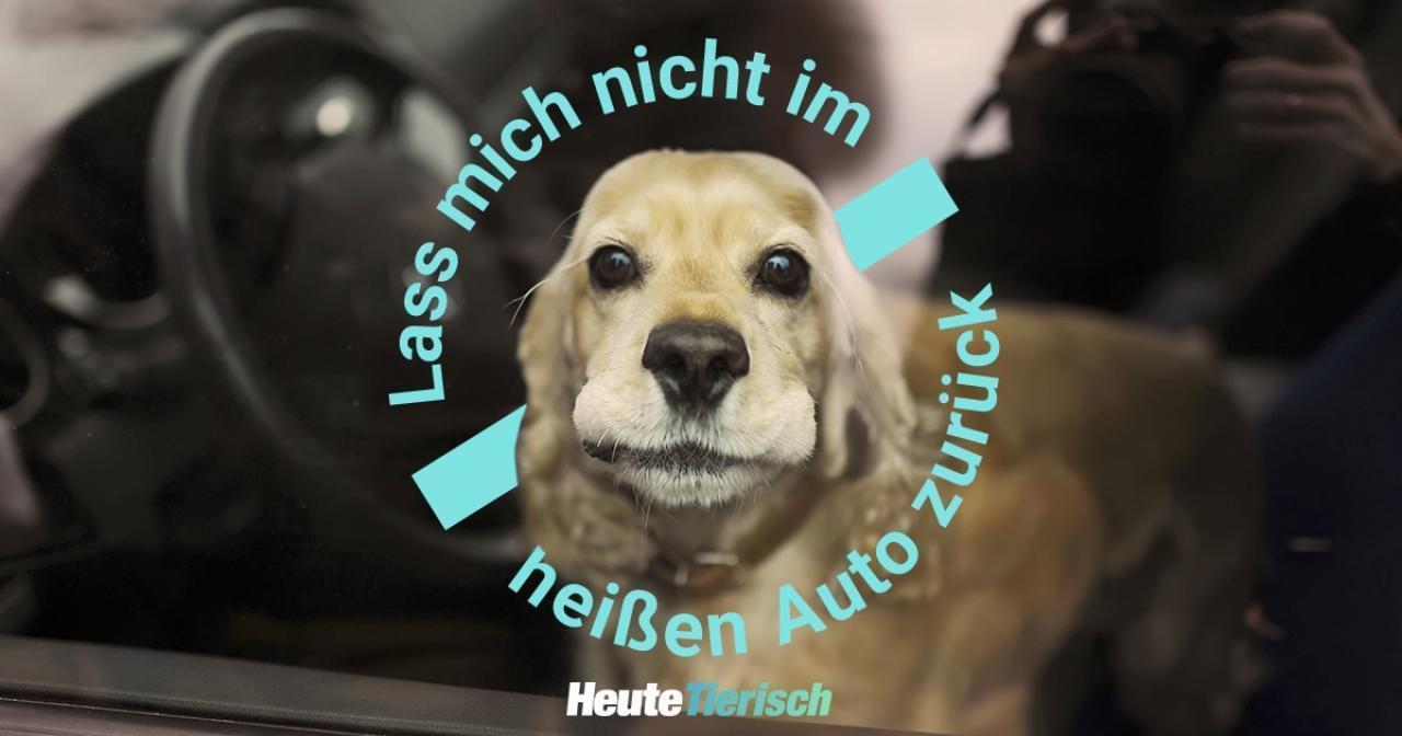 Lassen Sie Ihren Hund bei Hitze niemals im Auto