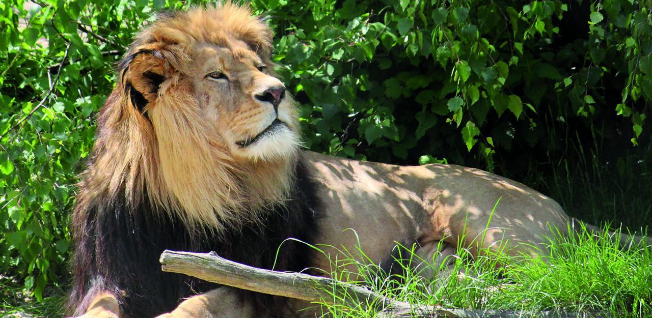 Trauer in Herberstein Löwe Simba gestorben