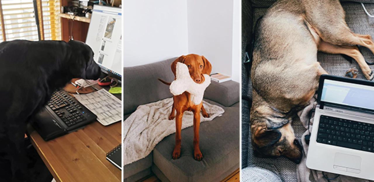 Homeoffice mit Hund  21 lustige Fotos