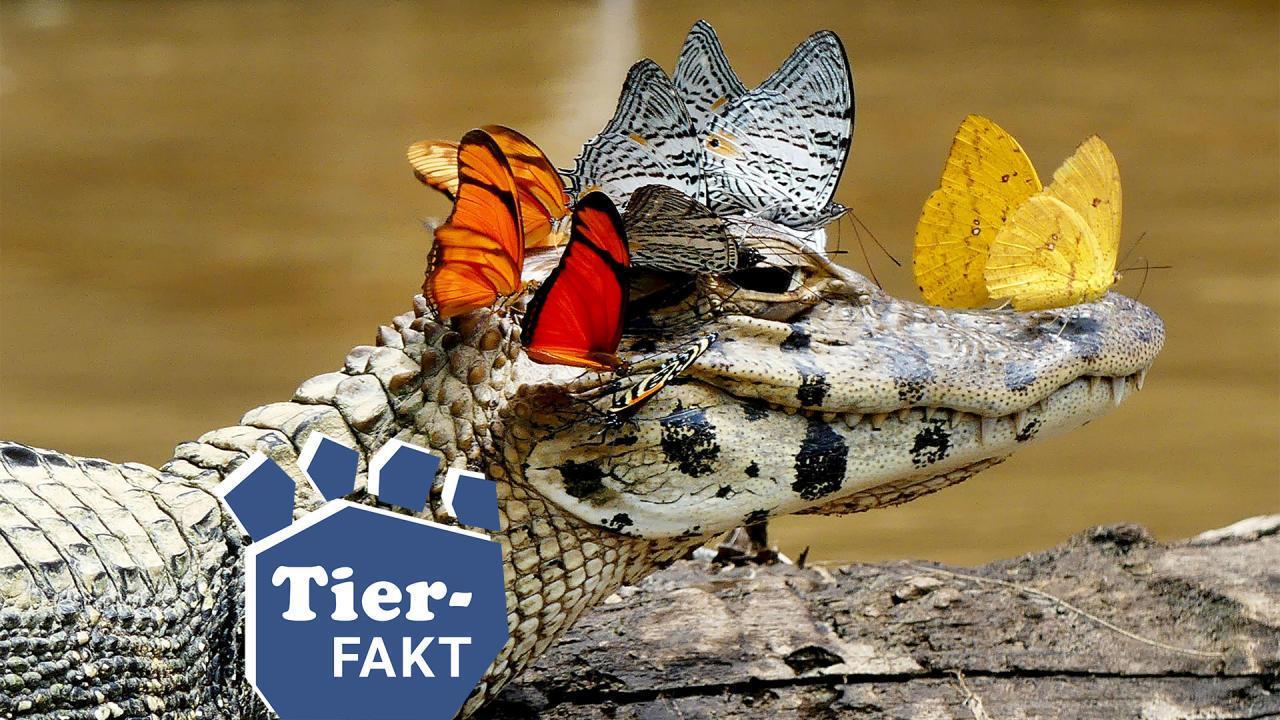 Schmetterlinge stehen auf Krokodilstränen