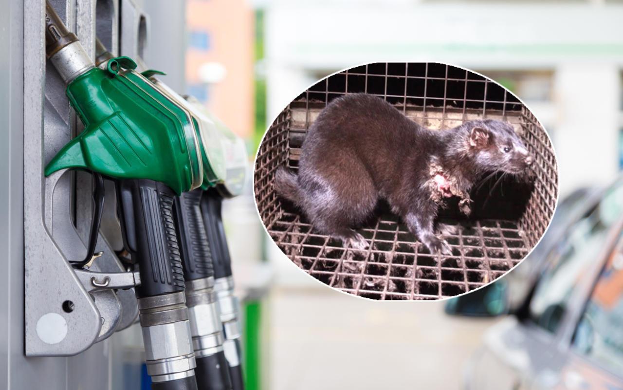Aufgedeckt Tiere aus Pelzfarmen in Biodiesel
