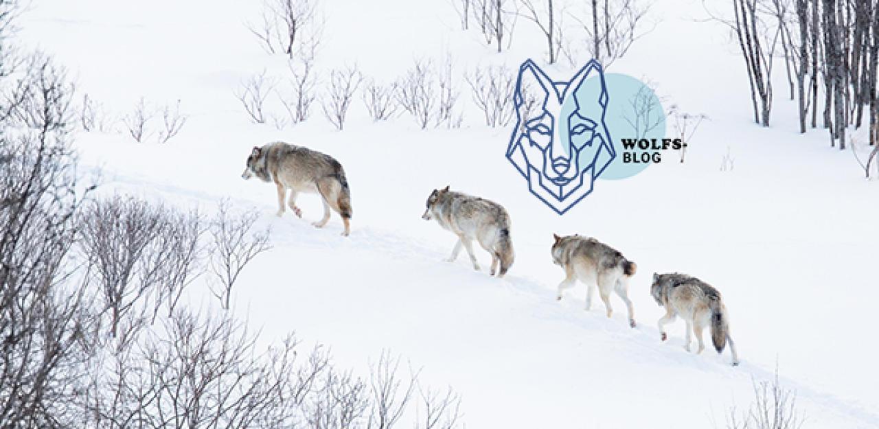 Die rekordverdächtigen Wanderrouten von Wölfen