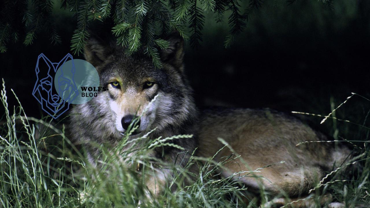 Was tun wenn Sie einem Wolf begegnen