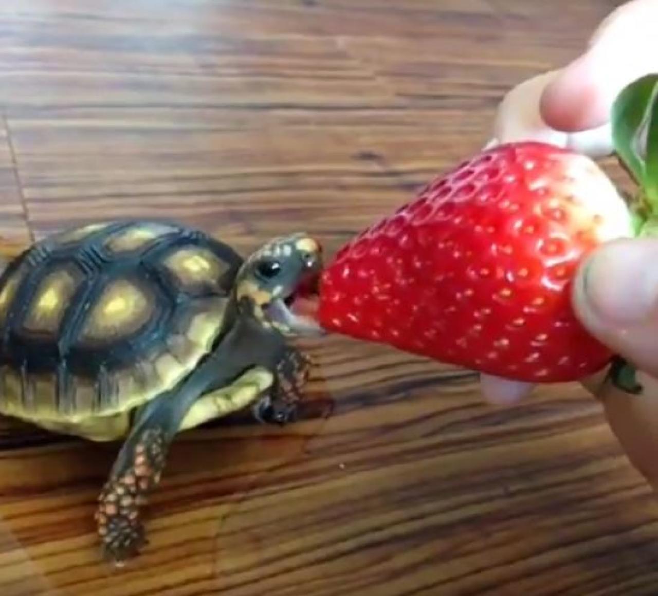 Kleine Schildkröte  grooo�e Erdbeere