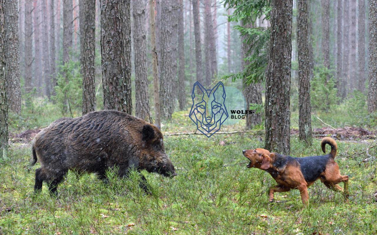Eber tötet Jagdhund  und schuld ist der Wolf