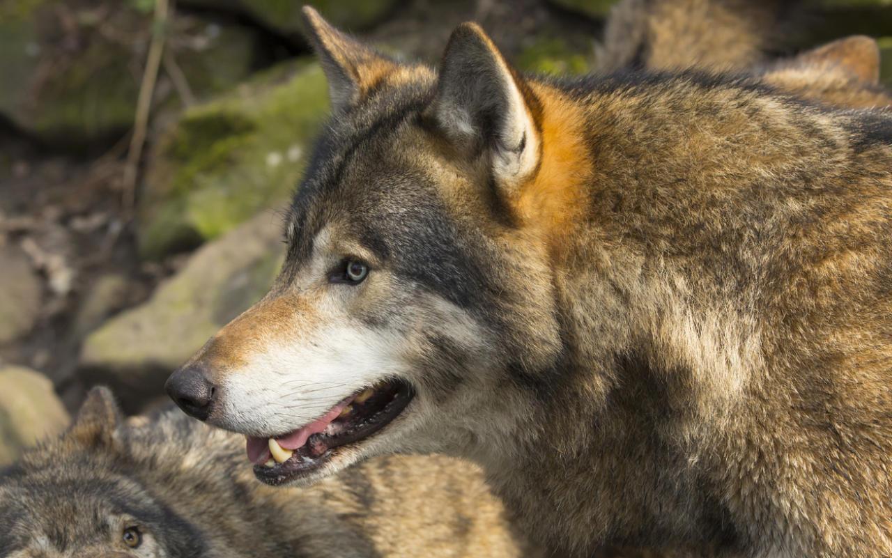 Unbekannter tötet Wolf und schneidet ihm Kopf ab