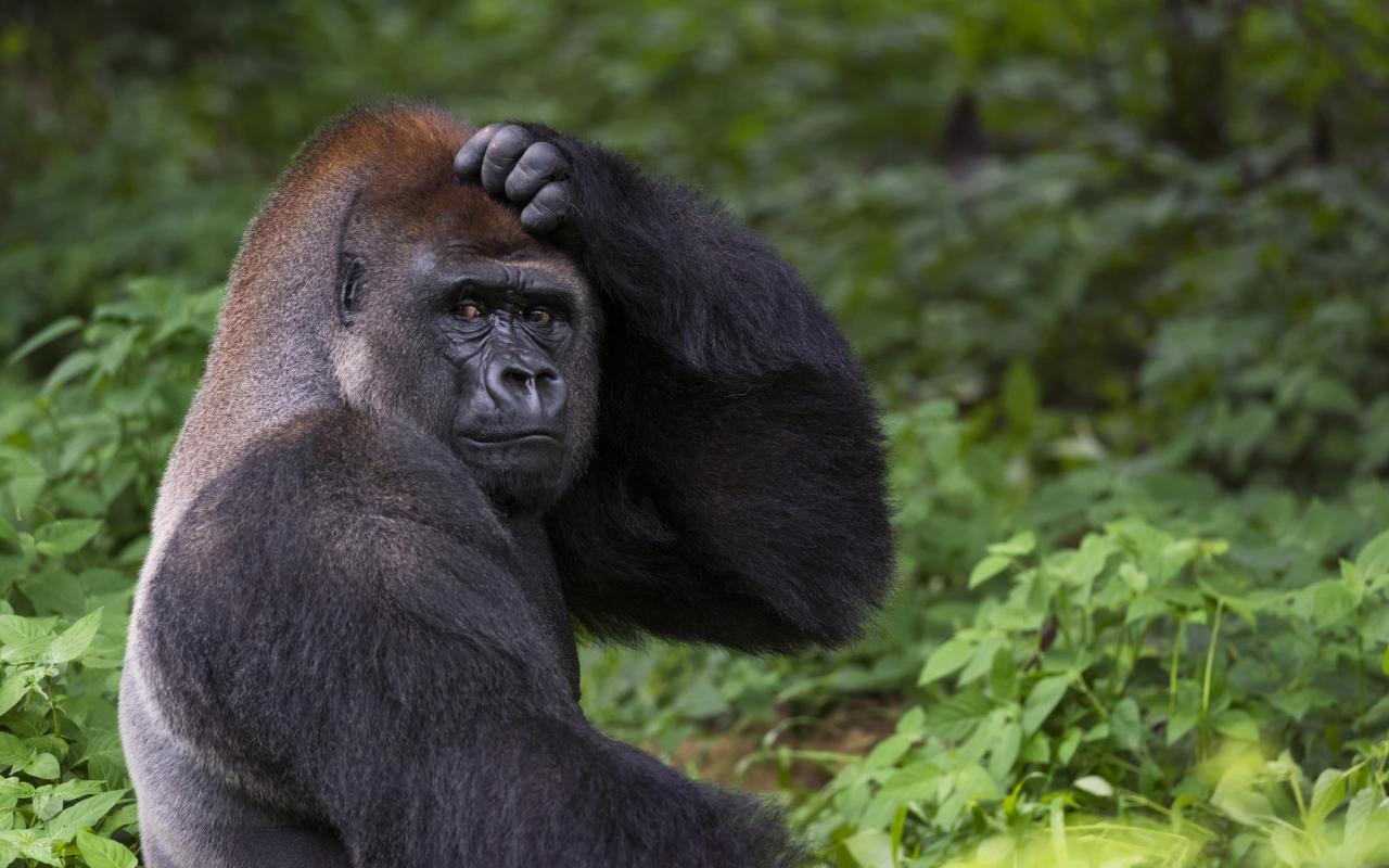 Forscher pflanzen Affen menschliches Gen ein