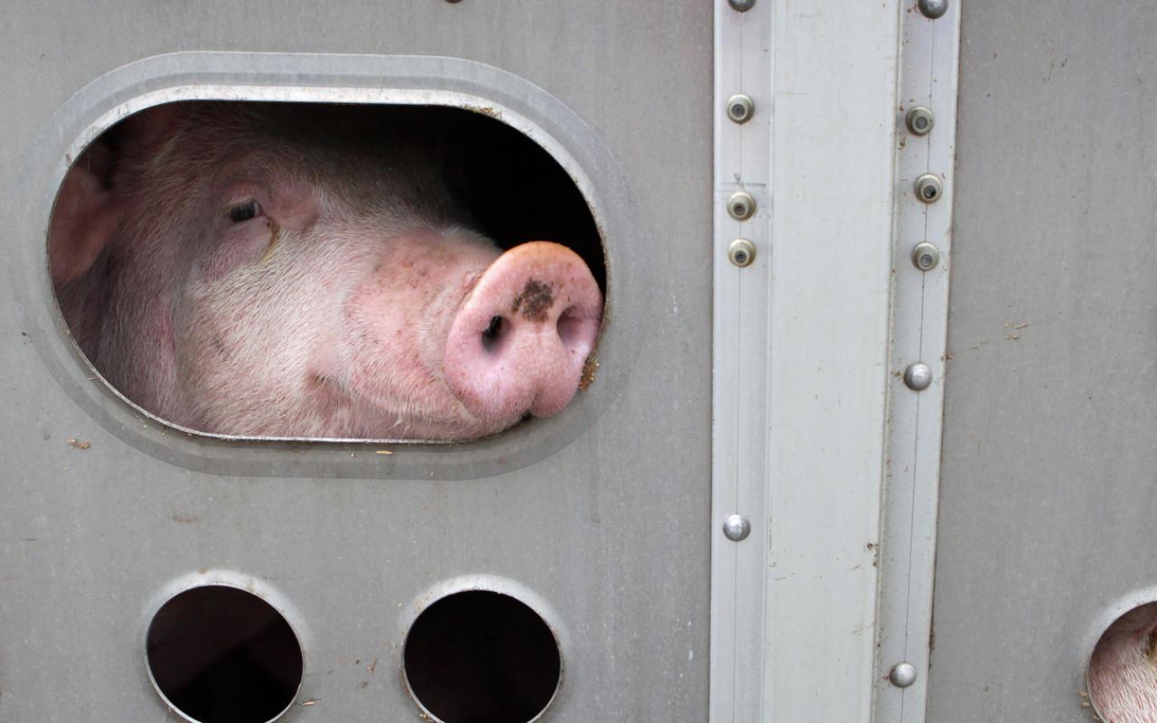 Tiertransporte trotz Corona und MegaStaus