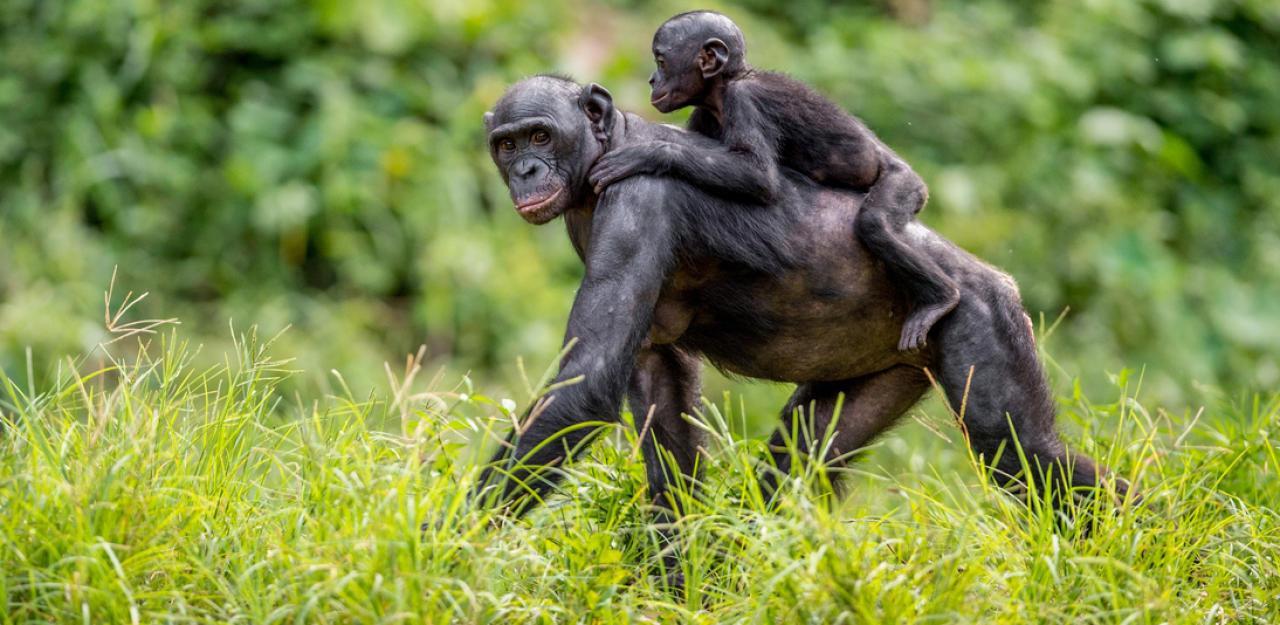 Affenmama trug totes Baby neun Tage durchs Gehege