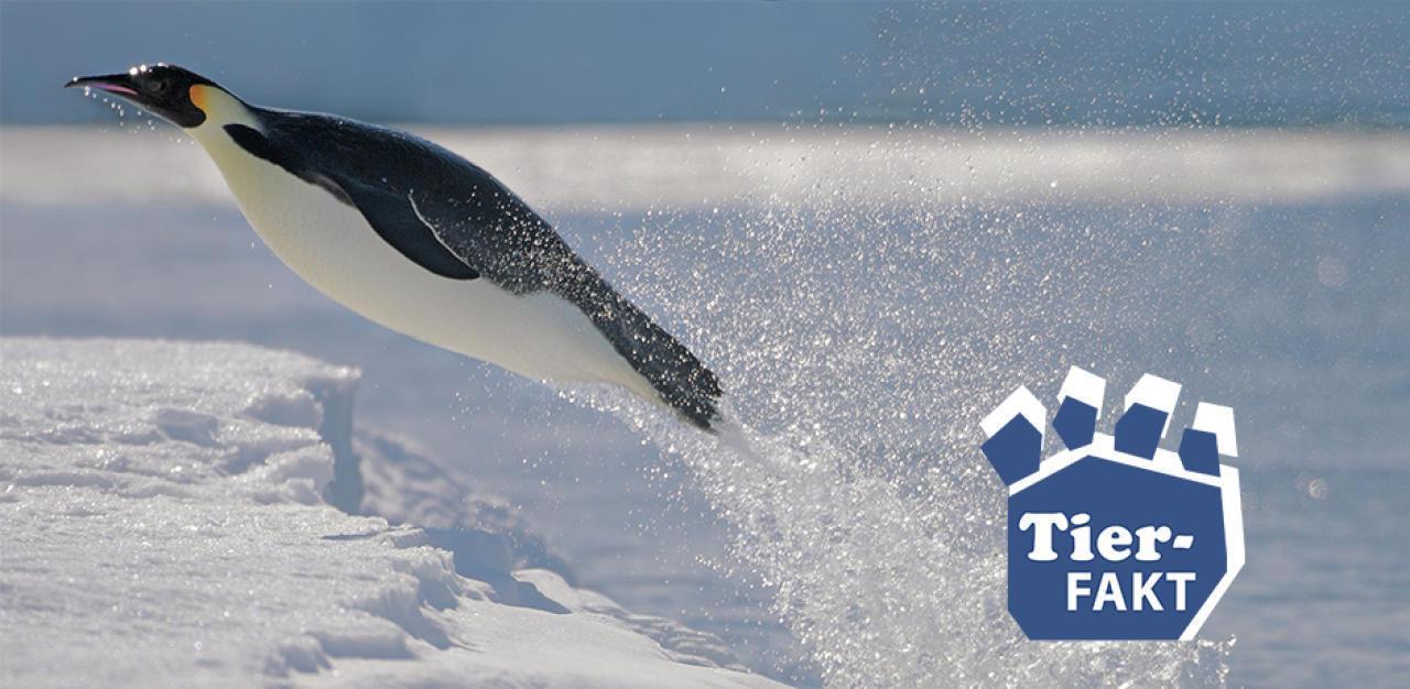 Wissen Sie wie hoch Pinguine springen können