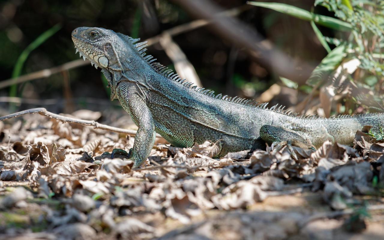 Tötet so viele Leguane wie möglich