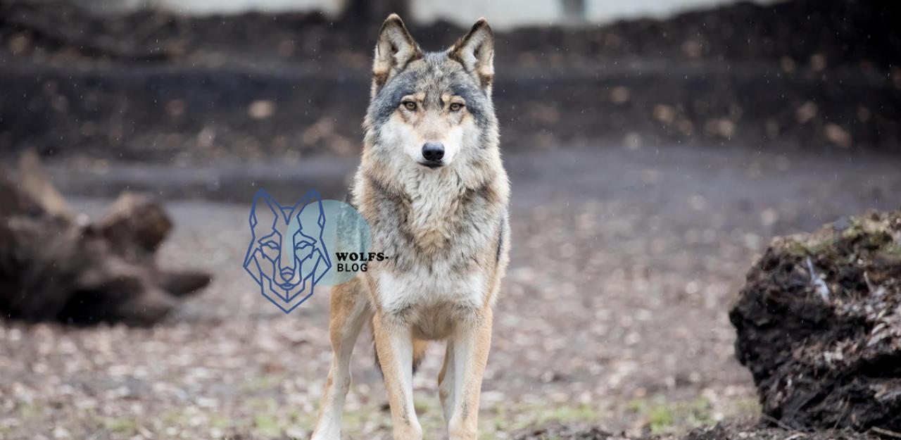 """""""Was tun, wenn ich im Wald einem Wolf begegne?"""" - HeuteTierisch - heute.at"""
