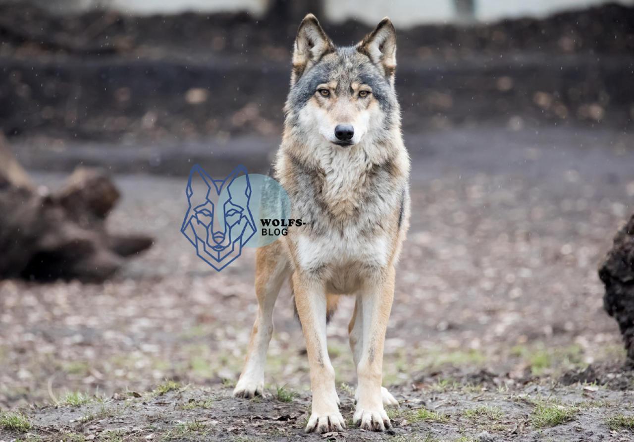 Was tun wenn ich im Wald einem Wolf begegne