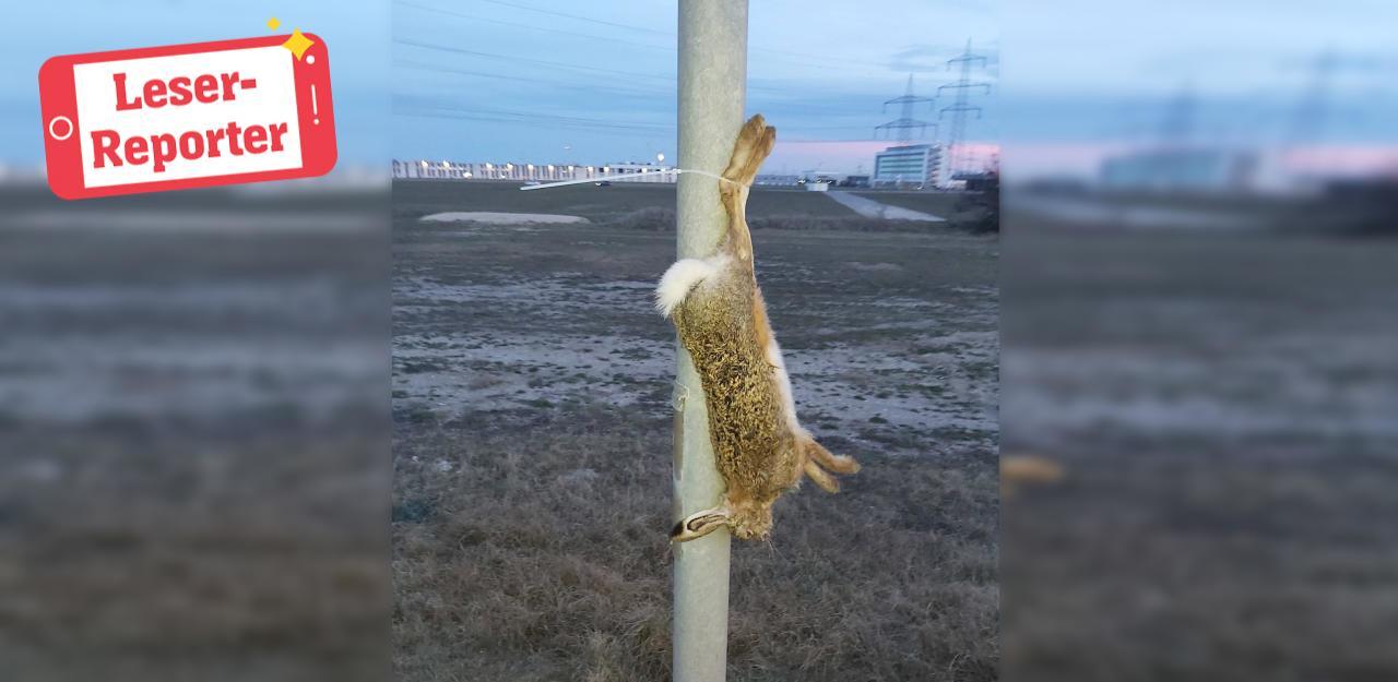 Unbekannter hängt toten Hasen auf Laterne auf