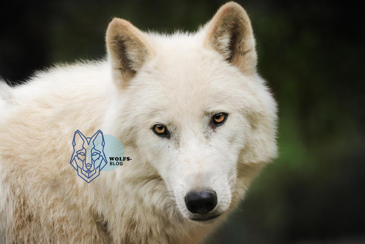 Schluss mit der IbizaGesinnung in Sachen Wolf