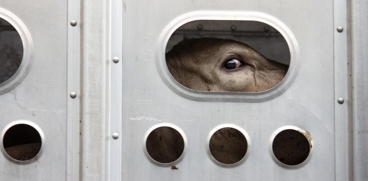 Polizei stoppt gefährlichen Tiertransporter in Graz