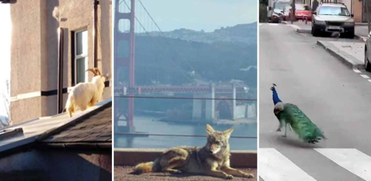 Wildtiere in leeren Städten  12 Bilder aus aller Welt