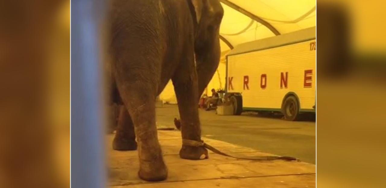 Zirkus holt alte Elefanten zurück in die Manege