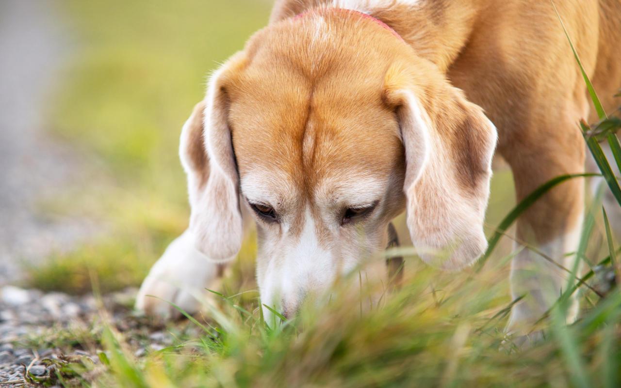 Hunde helfen im Kampf gegen das Coronavirus