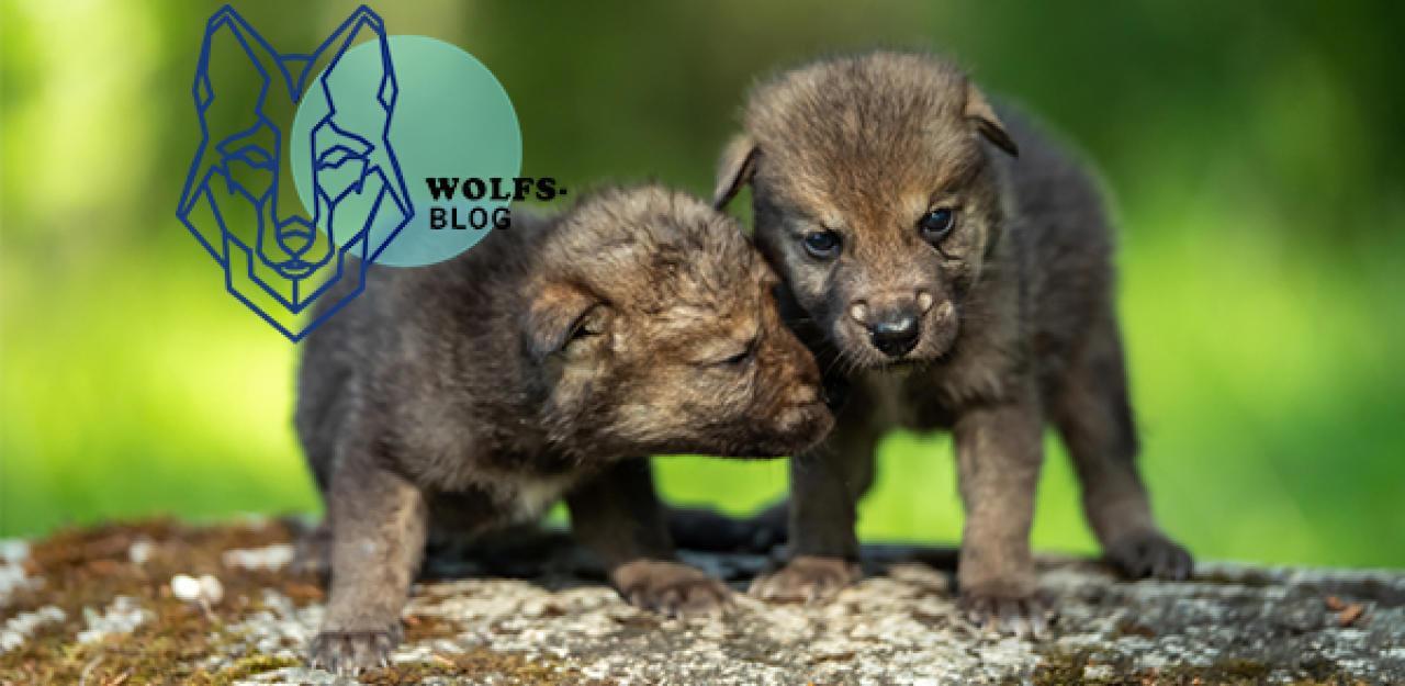 Jetzt werden die Wolfswelpen geboren